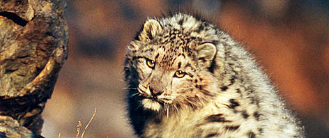 Snow leopard (<i>Uncia uncia </i>) in the wild of the Altai Mountains in Mongolia. rel=