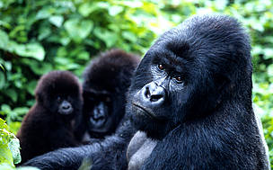 The total population of the mountain gorilla subspecies is about 700 individuals, split almost ... / ©: WWF / Martin HARVEY