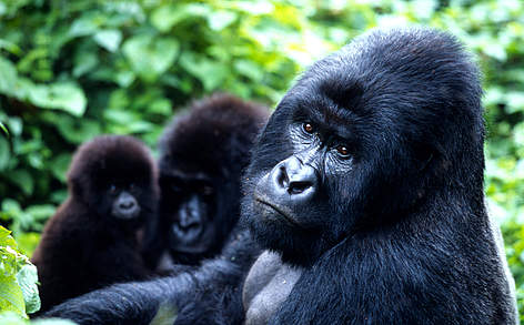 The total population of the mountain gorilla subspecies is about 700 individuals, split almost ... rel=