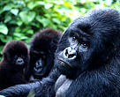 The total population of the mountain gorilla subspecies is about 700 individuals, split almost evenly into two groups: one in the Virunga range of volcanoes on the Uganda-Rwanda-DRC border, and the other in Bwindi Impenetrable National Park, Uganda.