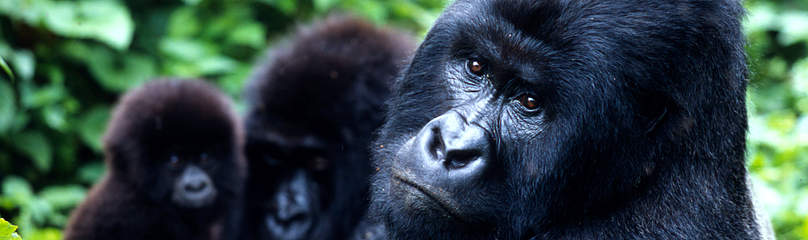 The total population of the mountain gorilla subspecies is about 700 individuals, split almost ... / ©: WWF-Canon / Martin HARVEY