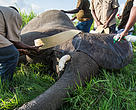 Elephant being collared in Mikumi National Park which is adjacent to Selous Game Reserve