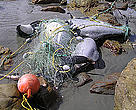 Four Hector's dolphins previously killed by a fishing net.