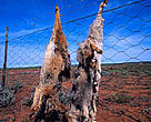 Humans and jackals: pictured here are <i>Canis mesomelas</i> or Black-backed jackals killed by sheep farmers in South Africa and displayed on fence as a deterrent to other jackals.
