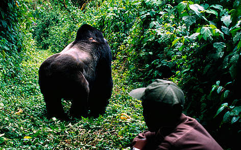 Gorillas have been a WWF flagship species for 50 years