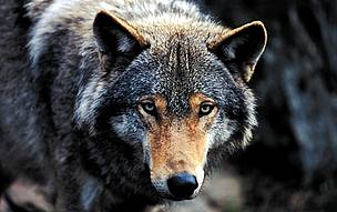 timber or grey wolf wwf