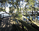 Mangrove at Kangaroo Point, Brisbane