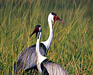 The wattled crane (<i>Bugeranus carunculatus</i>) inhabits open grasslands and wetlands.