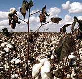 Cotton field, Mato Grosso, Brazil. / ©: WWF-Canon / Michel GUNTHER