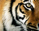 Tigers are part of our planet's natural heritage, a symbol of Earth's biodiversity.
