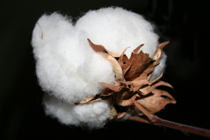 Cotton on the trunk.  	© Stephanie Berghaeuser