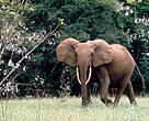 Forest elephant in Gabon