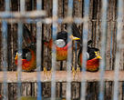 Silver-eared Mesias for sale in Hanoi