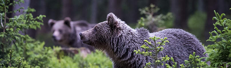 Brown bear  	© Tomas Hulik / WWF
