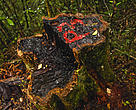 Rose wood tree stump in Marojejy National Park, Madagascar