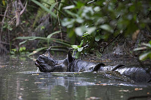 Javan rhino in a stream in Ujung Kulon National Park in Indonesia