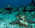 Diver photographing a hawksbill turtle feeding on a sea sponge. The hawksbill turtle is listed as critically endangered on the IUCN Red List of Threatened Species.