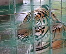 Captive tiger in the Golden Triangle Region