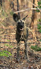 African wild dog in South Luangwa, Eastern province, Zambia