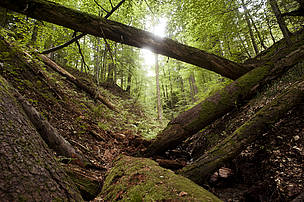 Virgin forests have survived because of their inaccessibility and the low economic value of the ...  	© Mircea Struteanu