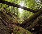 Virgin forests have survived because of their inaccessibility and the low economic value of the wood coming from the old trees.