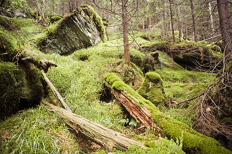 Virgin or old growth forests are untouched by humans, the last places where nature survives in its ... rel=