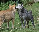 Grey wolves were on the brink of extinction in Europe before the EU's 1992 Habitats Directives.