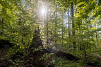 Harvesting tree trunks and stumps for energy and burning them at industrial scale is completely counterproductive as a way of tackling climate change © Tomas Hulik