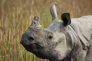 Success and setbacks in the fight for rhinos