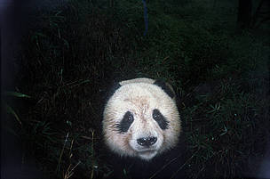 A curious panda is snapped by an infrared camera trap.  	© WWF