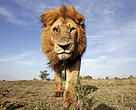 African lion, Maasai Mara Nature Reserve, Kenya. The Living Planet Report 2014 found global wildlife populations have declined by more than half in just 40 years.