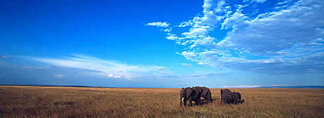African elephant (Loxodonta africana) family group crossing the Masai Mara savanna, Kenya  rel=