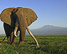 African elephant (Loxodonta africana) bull with large tusks, Amboseli National Park, Kenya.