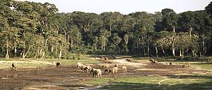 Herd of African forest elephants eating mineral-rich mud in the Dzanga-Sangha Special Reserve, ... / ©: WWF / Meg GAWLER