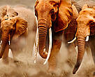 A herd of elephants on the move in Amboseli National Park, Kenya. The female in the middle of the herd has exceptionally long tusks.