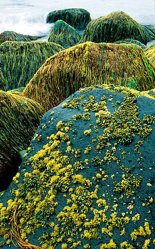 Algae on rocky shore St. Paul Island, Pribilof Islands, Alaska