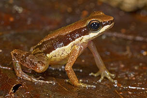 A third microendemic to the Iwokrama Mountains of central Guyana (Allobates Amissibilis)