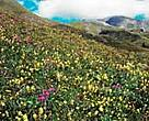 Plants are forced to move upwards due to warmer temperatures caused by global warming, but for many alpine species this might be impossible.