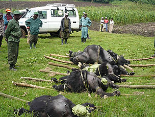 4 dead gorillas laid out on the ground      © Altor IGCP Goma