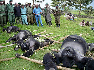 4 dead gorillas laid out on the ground / ©: Altor IGCP Goma