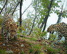 The census, taken with camera traps spread out over more than 900,000 acres of primary leopard habitat, collected around ten thousand photographs that scientists used to identify nearly 60 individual animals.