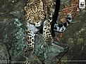 Amur leopard caught on camera trap in south-eat Russia.  	© WWF-Russia / ISUNR