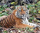 There are only about 450 Amur tigers living in the southern Amur-Ussuri region of Russia's Primorski and Khabarovski Krais provinces, with a few found across the border in northern China and Korea.
