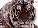 Amur or Siberian tiger (Panthera tigris altaica) / ©: Kevin Schafer / WWF-Canon
