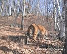 A camera trap set up in the reserve captured two photos of the tiger in April