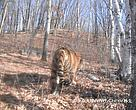 The photos provide evidence of the extension of the Amur tiger's range from Hunchun, located close to the Russian border, into the inner Changbai mountain area