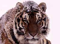 Amur tiger (<I>Panthera tigris altaica</I>). / ©: WWF-Canon / Kevin Schafer