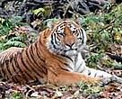 The Amur, or Siberian, tiger (<I>Panthera tigris altaica</I>) is threatened by poaching.