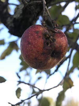 Apple affected by the declining health of trees