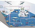 Graphic: Arctic marine food web